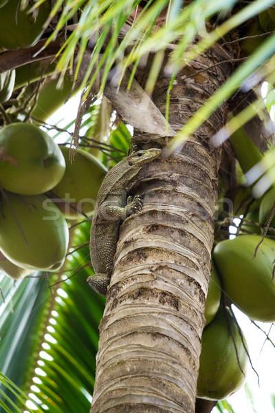 Monitor gyík kókuszpálma fa pálma zöld Stock fotó © PetrMalyshev