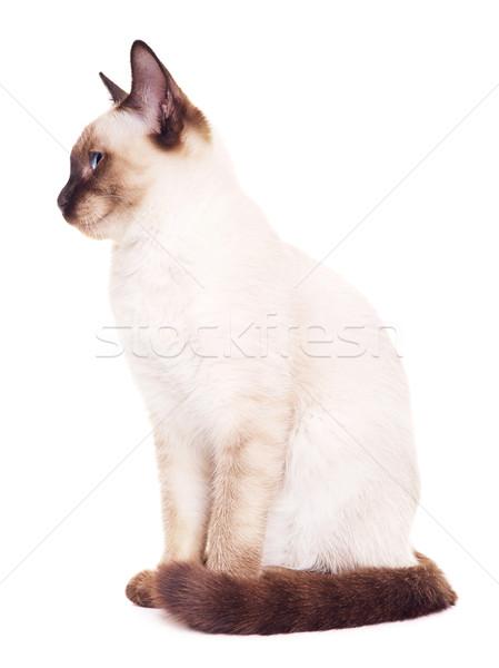タイ 猫 肖像 グレー 青い目 孤立した ストックフォト © PetrMalyshev