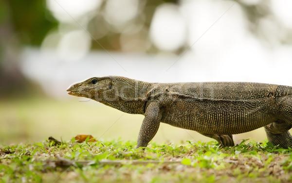 banded monitor lizard Stock photo © PetrMalyshev