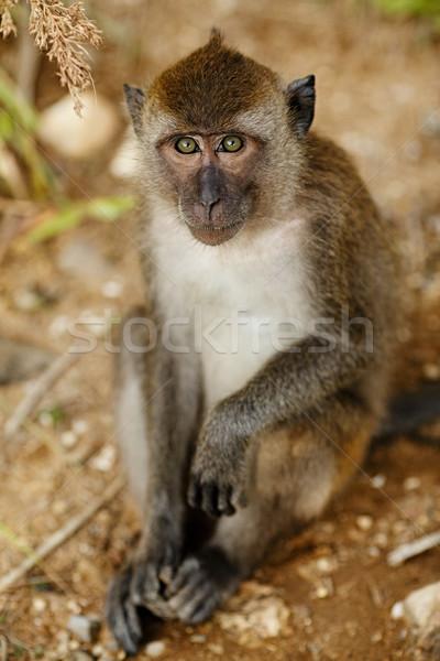 Macaque Monkey Stock photo © PetrMalyshev