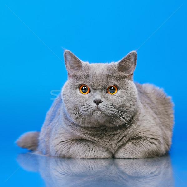 英国の ショートヘア 猫 青 顔 肖像 ストックフォト © PetrMalyshev