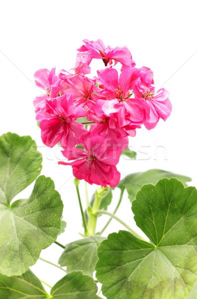 Geranium Flower Stock photo © PetrMalyshev