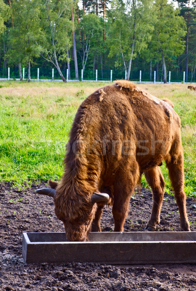 Aurochs In Wildlife Sanctuary Stock photo © PetrMalyshev