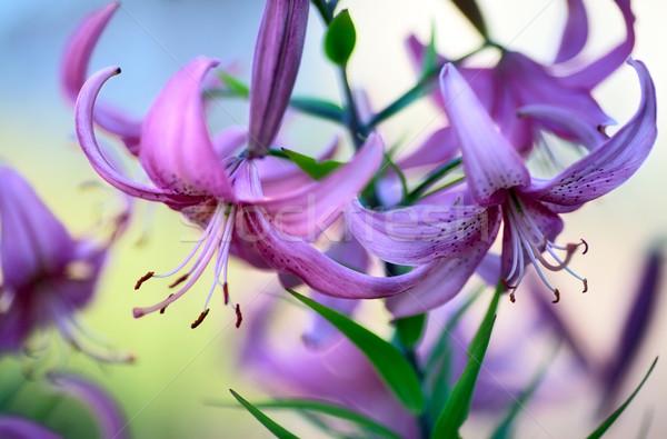 Roxo lírios belo jardim folha Foto stock © PetrMalyshev