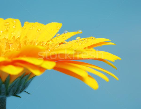 желтый красивой цветок лепестков синий воды Сток-фото © PetrMalyshev