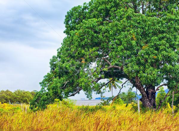 Big Tree In Thailand Stock photo © PetrMalyshev
