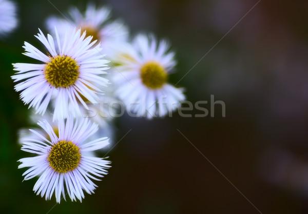 Erigeron Alpinus Stock photo © PetrMalyshev