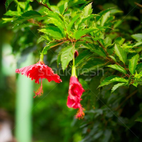 Vermelho hibisco flor tropical folha fundo Foto stock © PetrMalyshev