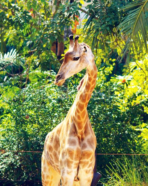 Stok fotoğraf: Zürafa · gökyüzü · göz · mutlu