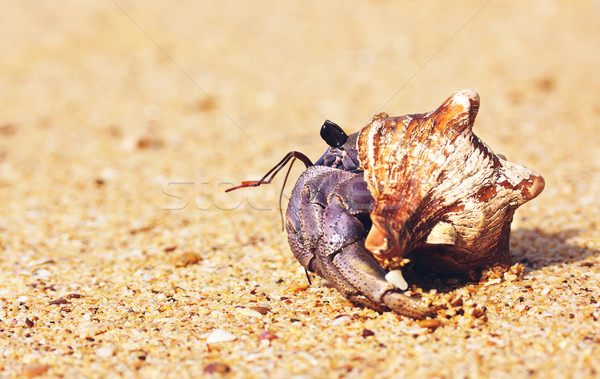 Hermit Crab On Beach Stock photo © PetrMalyshev
