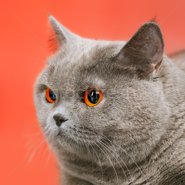 Brits korthaar kat Blauw Rood gezicht Stockfoto © PetrMalyshev