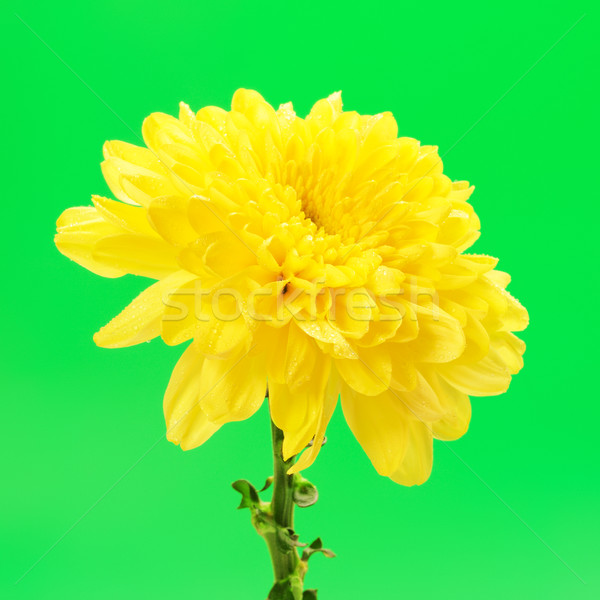 Gelb Chrysantheme Blume frischen Herbst grünen Stock foto © PetrMalyshev