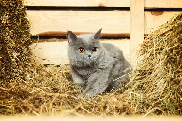 Brits korthaar kat grappig Blauw gezicht Stockfoto © PetrMalyshev