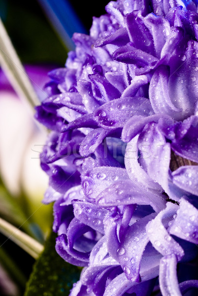 blue fuzzy (hyacinthus orientalis) with waterdrops Stock photo © PetrMalyshev