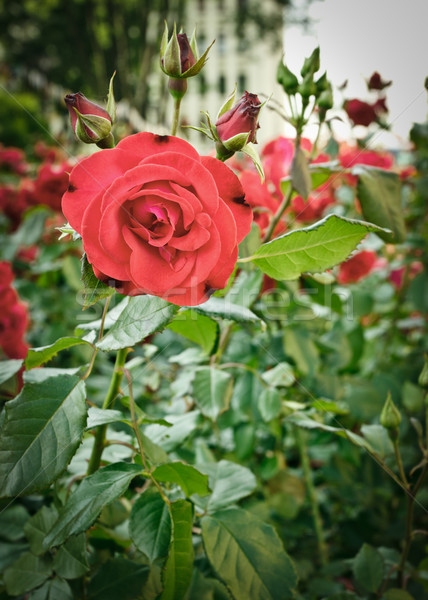roses flowerbed Stock photo © PetrMalyshev
