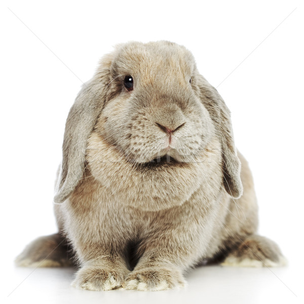 Lop-earred Rabbit Stock photo © PetrMalyshev