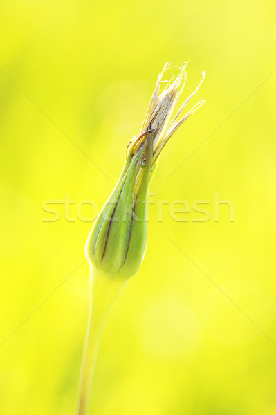 Closed Bud Stock photo © PetrMalyshev