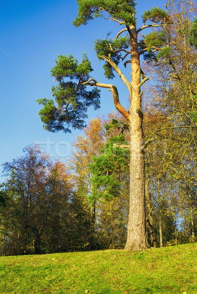 Pino otono forestales cielo Foto stock © PetrMalyshev