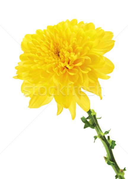 Citromsárga krizantém virág ősz sárga virág izolált Stock fotó © PetrMalyshev