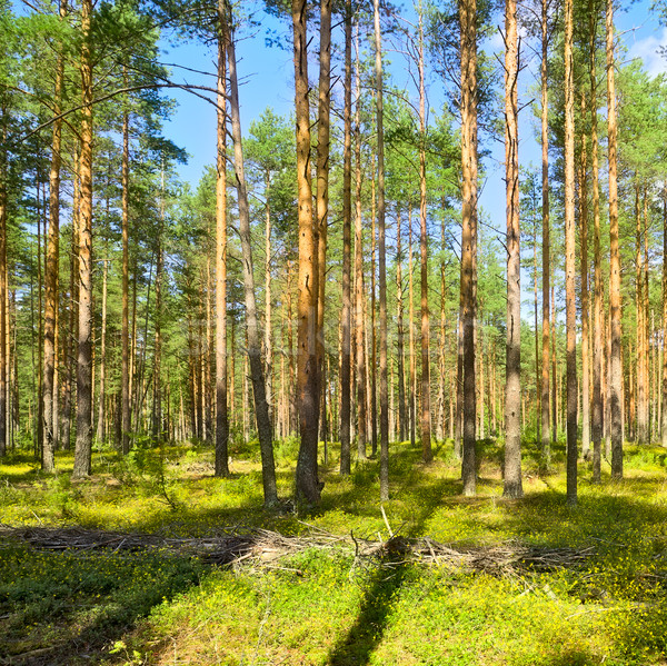Pine Forest Stock photo © PetrMalyshev