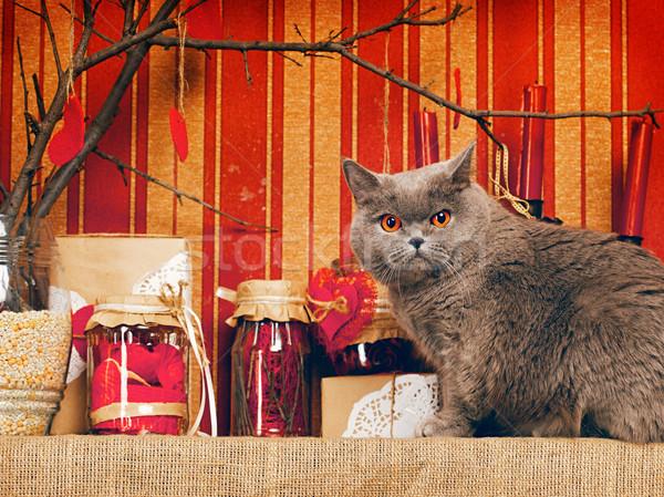 英国の ショートヘア 猫 青 ホーム インテリア ストックフォト © PetrMalyshev