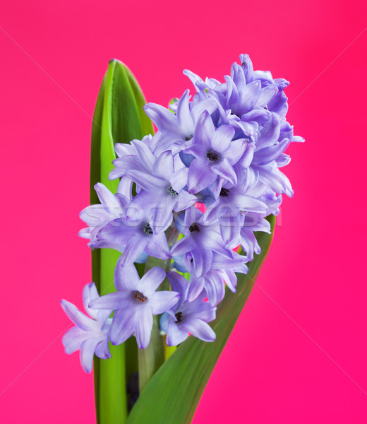 Blue Hyacinth Flower Stock photo © PetrMalyshev