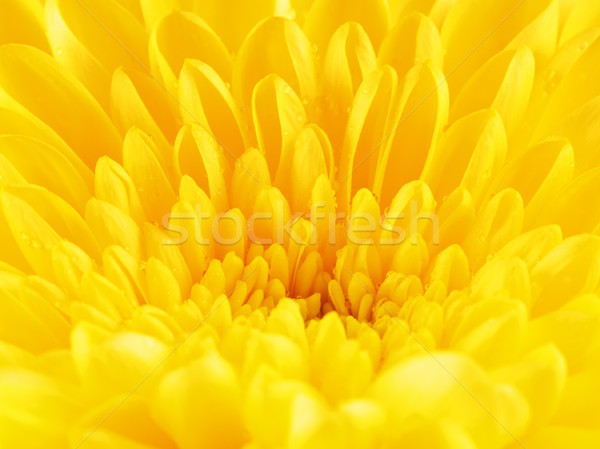 Citromsárga krizantém virág szirmok ősz sárga virág Stock fotó © PetrMalyshev