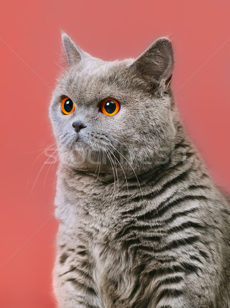 Stockfoto: Brits · korthaar · kat · Blauw · Rood · gezicht