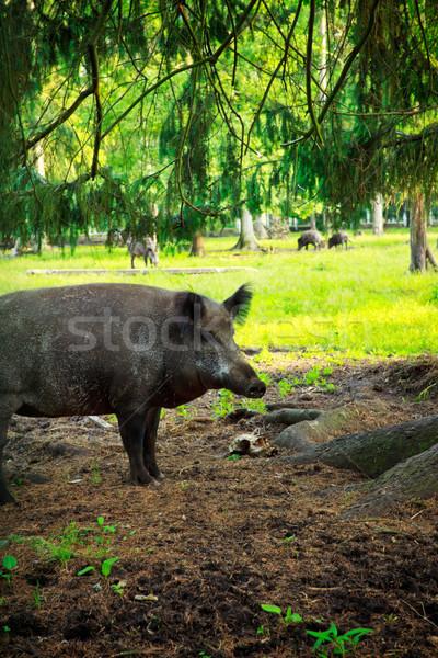 Vad vaddisznó természetes élőhely fű erdő Stock fotó © PetrMalyshev