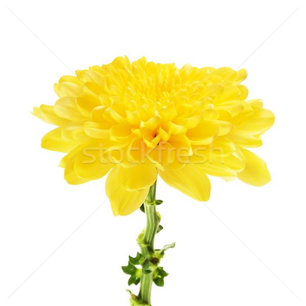 Yellow Chrysanthemum Flower Stock photo © PetrMalyshev