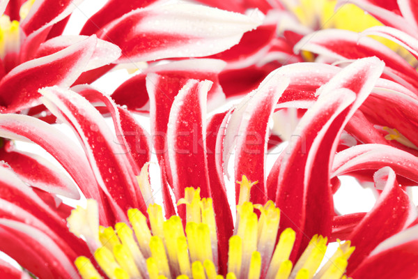 Rouge chrysanthème groupe jaune centre Photo stock © PetrMalyshev