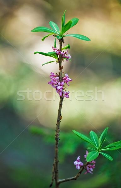 Florescer primavera floresta folha fruto Foto stock © PetrMalyshev