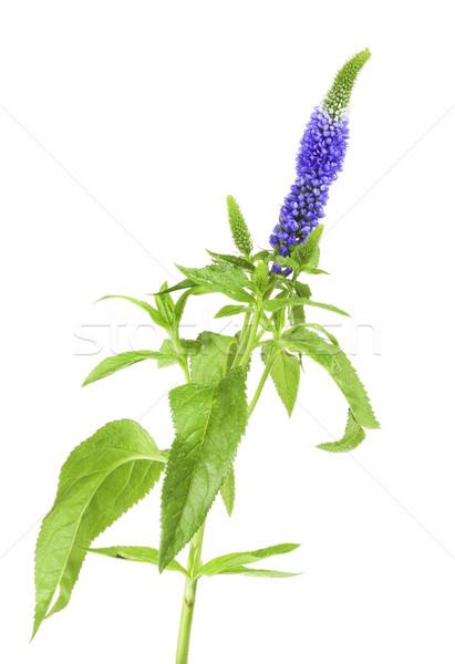 Blue Flower Stock photo © PetrMalyshev