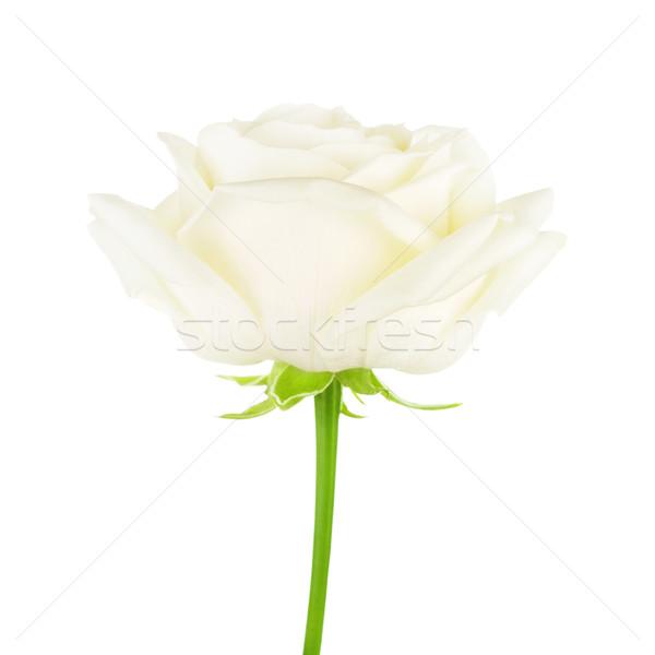 Branco rosa flor creme isolado amor Foto stock © PetrMalyshev