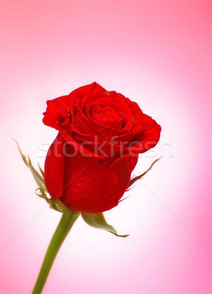 Rose Red brillante rosa flor aumentó naturaleza Foto stock © PetrMalyshev