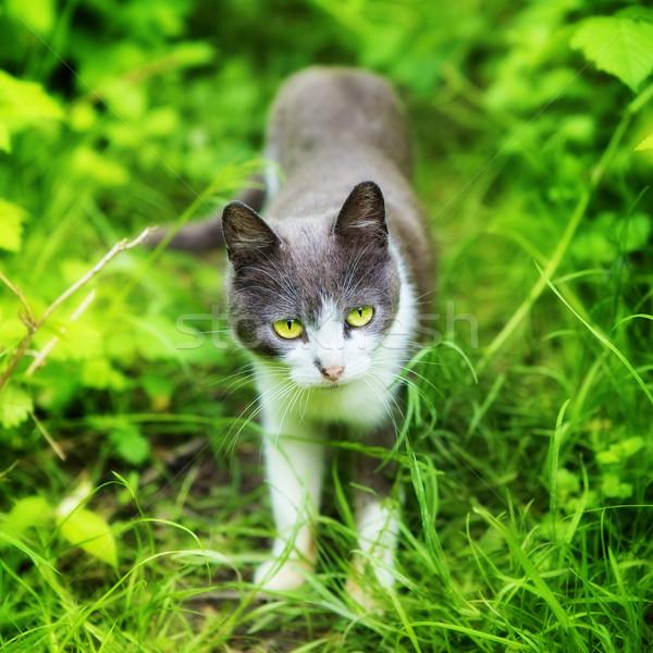 Kot trawy zielone oczy lata dzień dziedzinie Zdjęcia stock © PetrMalyshev