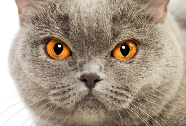 британский короткошерстная кошки синий портрет Сток-фото © PetrMalyshev
