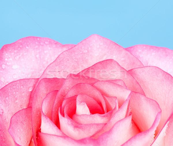 Розовые розы свежие цветок синий весны природы Сток-фото © PetrMalyshev