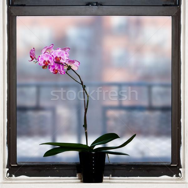 Orchidée usine fenêtre belle carré fleurs Photo stock © phakimata