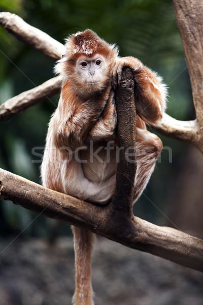 Stock photo: Ebony Langur monkey