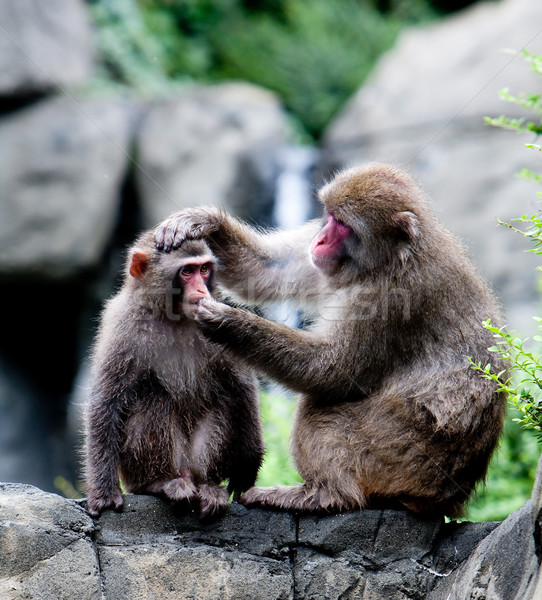 Snow Monkeys grooming Stock photo © phakimata