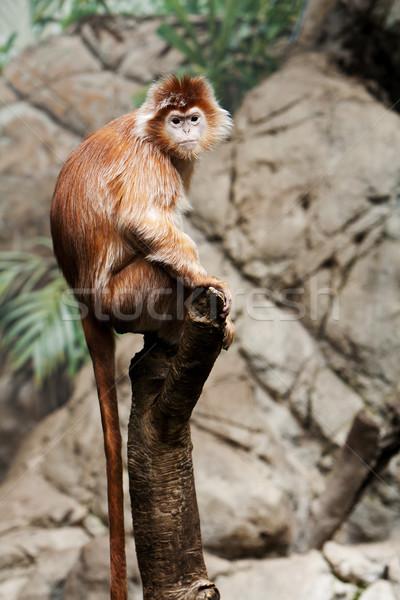 Ebony Langur monkey Stock photo © phakimata