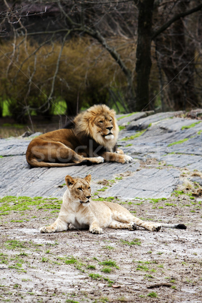 Lion and Lioness laying together Stock photo © phakimata