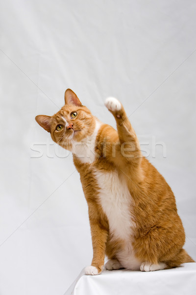 Cute cat with paw up Stock photo © phakimata