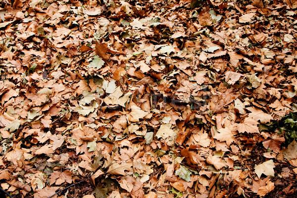 Sécher brun laisse sol arbres automne Photo stock © phakimata