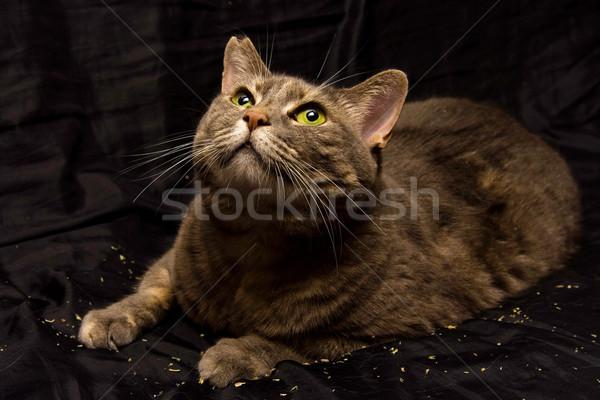 Curioso gato gatos curiosidad qué Foto stock © phakimata