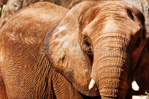 Elefánt arc gyönyörű veszélyeztetett afrikai elefánt rövid Stock fotó © phakimata