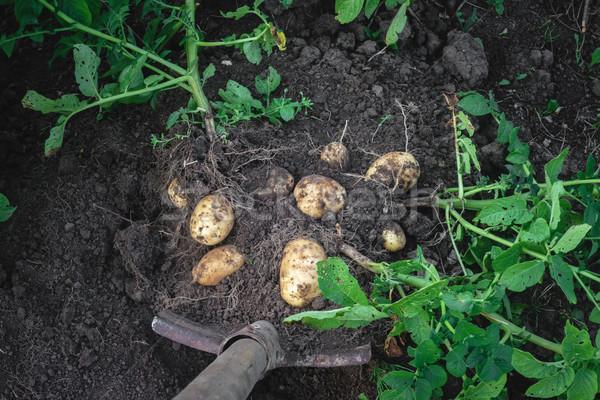 Krumpli ki föld ásó étel természet Stock fotó © Phantom1311