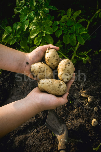 potato in the hands of man Stock photo © Phantom1311