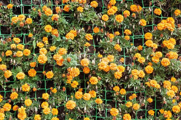 Narancs virágok zöld virág levél arany Stock fotó © Phantom1311